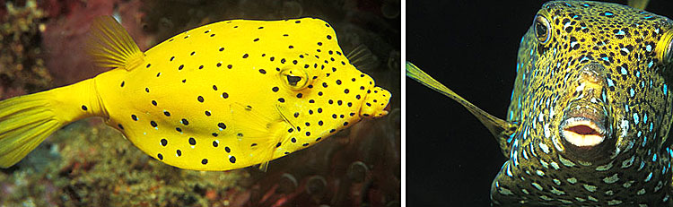 Ostraciidae- Boxfish Maldives Aquarium Fish Exporter