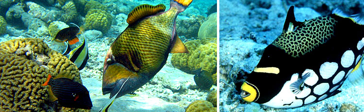 Balistidae - Triggerfish Maldives Aquarium Fish Exporter